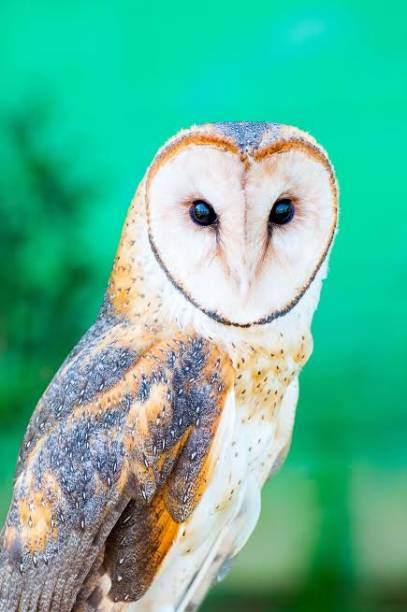 Coruja-da-torre: Tyto alba