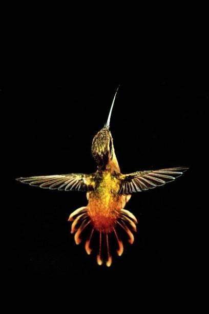 Beija-flor besourinho-da-mata: Phaethornis ruber