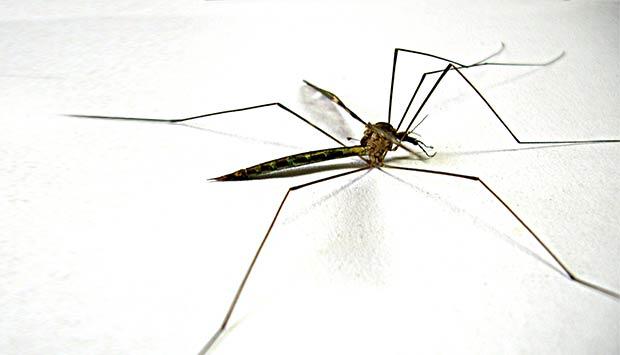 mosquito-dengue.jpeg