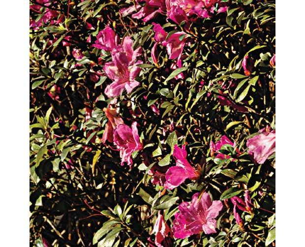 Ela também floresce no frio: Azaléia (Rhododendron simsii)<br>
