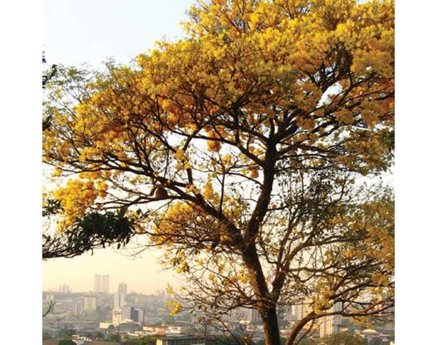 Ela também floresce no frio: Ipê amarelo (Tabebuia chrysotricha)<br>