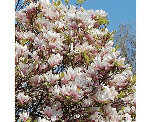 Ela também floresce no frio: Magnólia (Magnolia liliflora)<br>