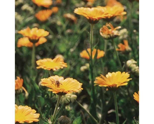 Ela também floresce no frio: Calêndula (Calendula officinalis)<br>
