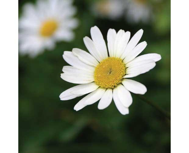Ela também floresce no frio: Margarida (Chrysanthemum leucanthemum)<br>