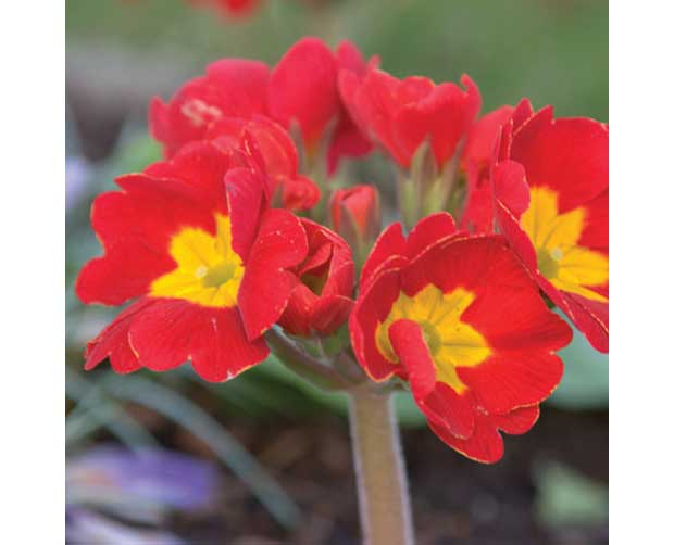 Ela também floresce no frio: Prímula (Primula malacoides)<br>