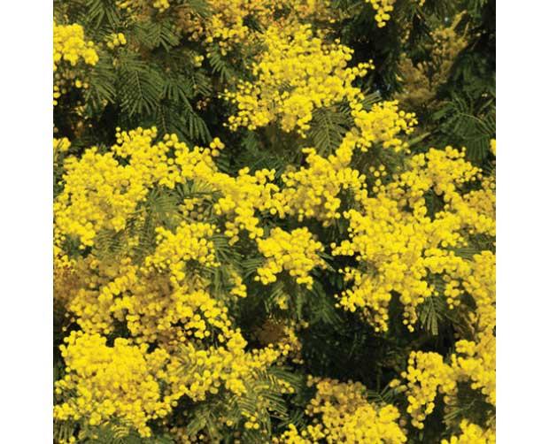 Ela também floresce no frio: Acácia (Acacia farnesiana)<br>