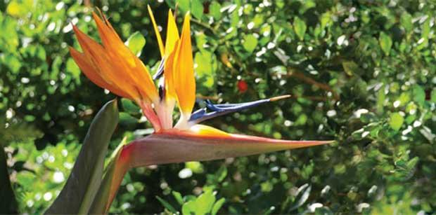 Ela também floresce no frio: Estrelítzia (Strelitzia reginae)<br>
