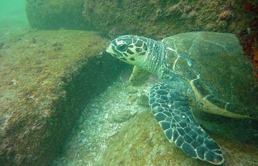 A fauna marinha no entorno é requíssima e lar de espécies ameaçadas, como a tartaruga verde, que chega a viver 80 anos<br>