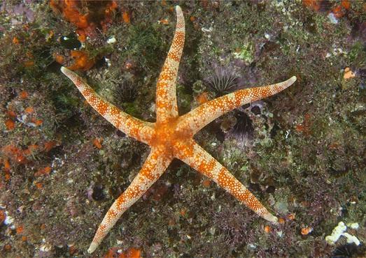 Estrela do mar da espécie narcissia trigonaria<br>