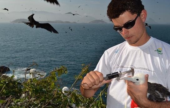 Pesquisador faz medições de uma fragata na Ilha Redonda<br>