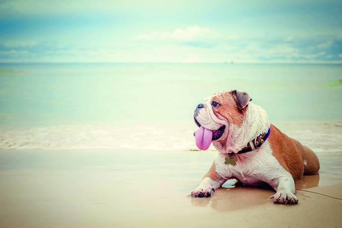 bulldog lying on the beach background