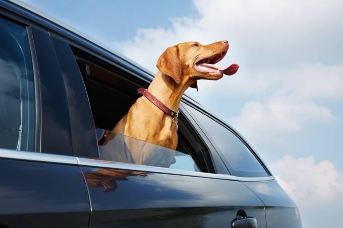 Cachorro carro