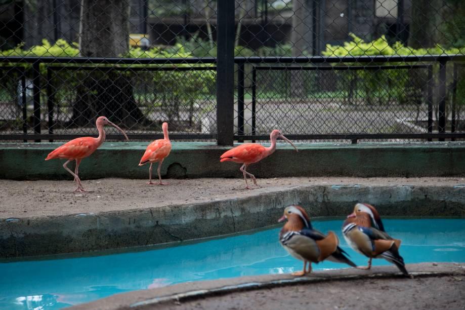 Com uma dieta de peixes e camarões, os guarás recuperaram a cor da plumagem