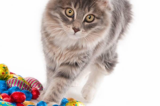 Looking gray kitten with colorful chocolate Easter eggs