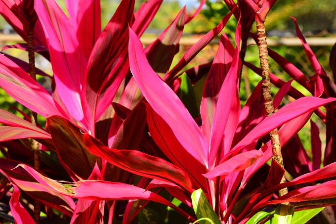 Red Ti Plant