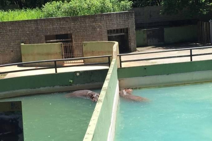 Hipopótamos no Zoológico do Rio