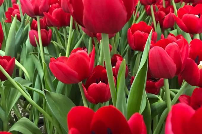tulipas3