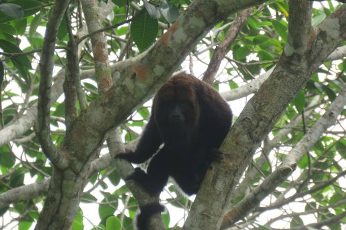 Macaco bugio- Governo do Estado