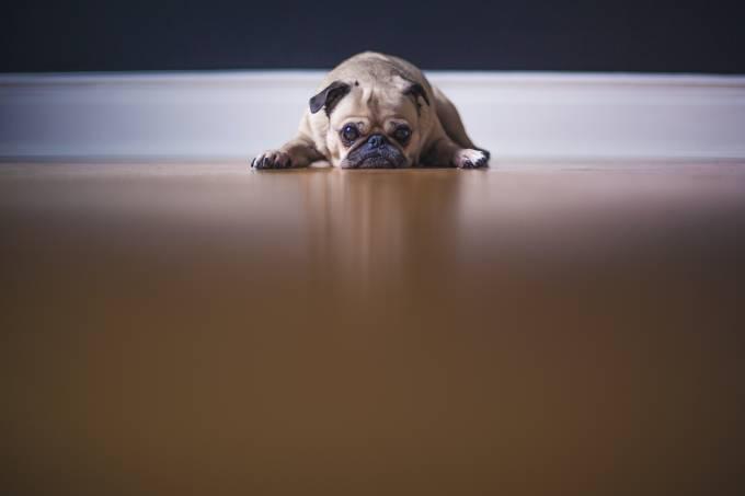 cachorro buldogue