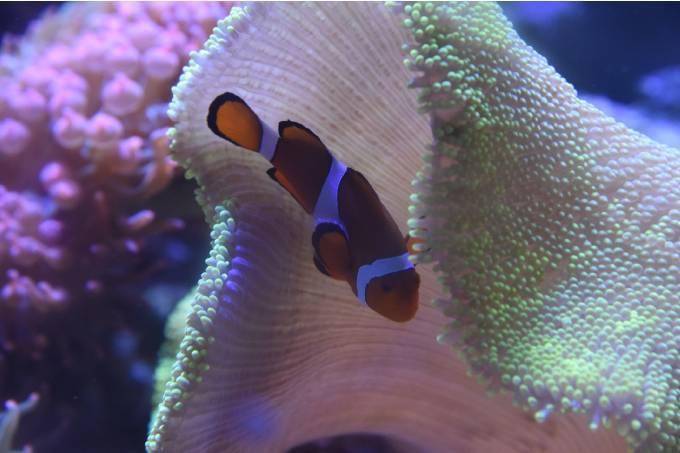 AquaRio peixe palhaço