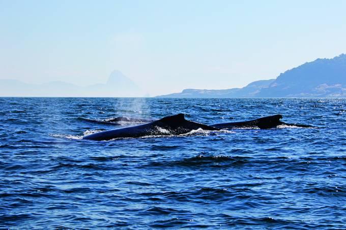Baleia-jubarte em frente ao Pão de Açucar 23 de julho 2020 Maqua-UERJ