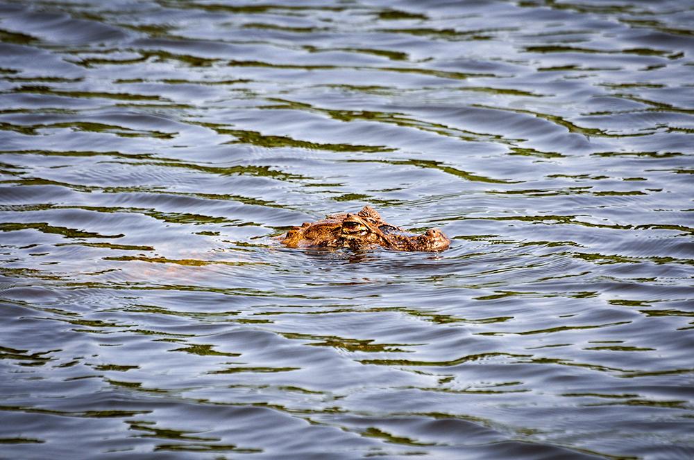 lago do bosque da barra com um jacaré nadando