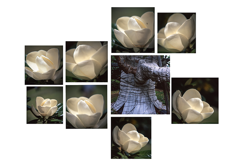 Composição de 9 fotografias de camélias e uma árvore