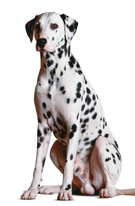 cachorro dálmata