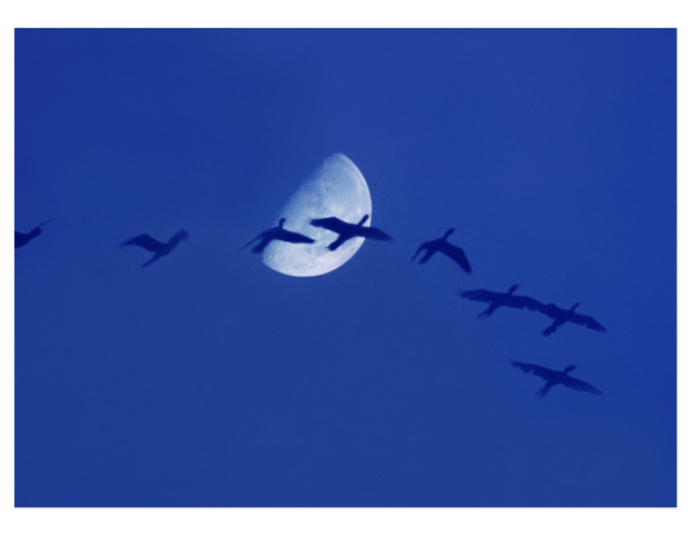 Biguás contra a lua, na despedida do dia.