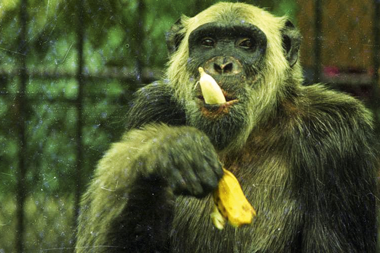 O macaco Tião