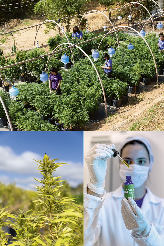 A primeira fazenda de maconha no Rio: a matéria-prima é usada na produção do óleo medicinal (abaixo) -