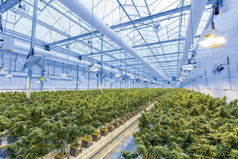 Plantação no Canadá: o país é líder nas pesquisas e produção -
