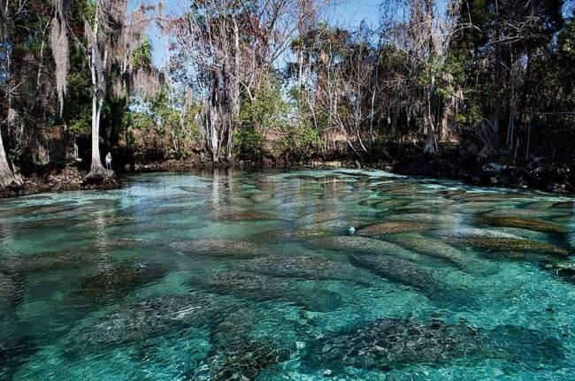 A quantidade de peixes-boi que ficam nas águas claras de Crystal River, na Flórida.