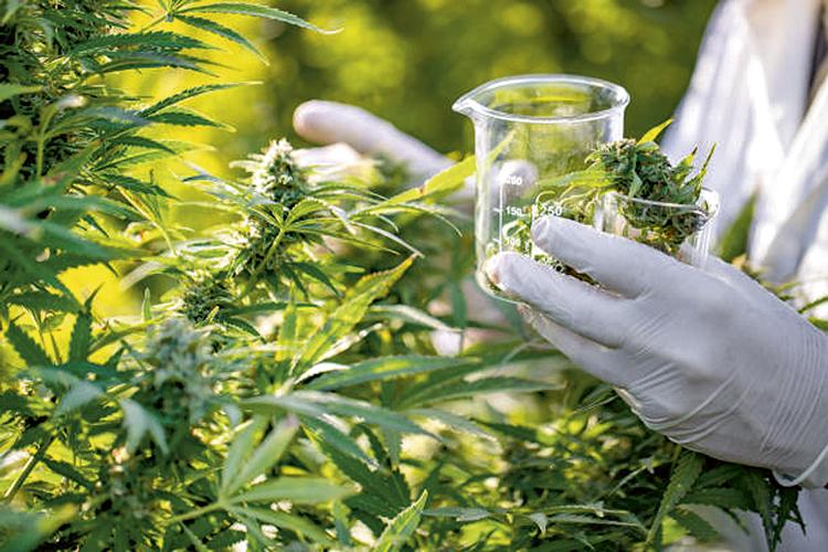 Para fins medicinais: UFRRJ estuda como adaptar o manejo da planta ao nosso solo -